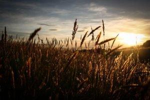 De geschiedenis van graan als voeding