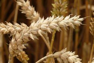 Tarwe: de geschiedenis en hoe dit graan veranderd is