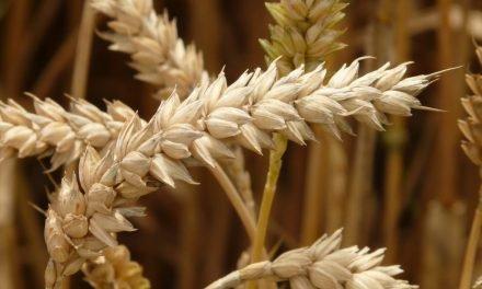 Tarwe: het bekendste graan in brood. Is het echt ongezond?