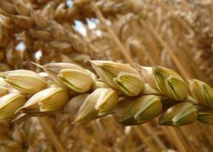 nieuws de graanrepubliek brengt oude granen terug